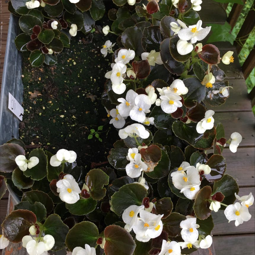 Begonia cucullata plant in Pike, New York