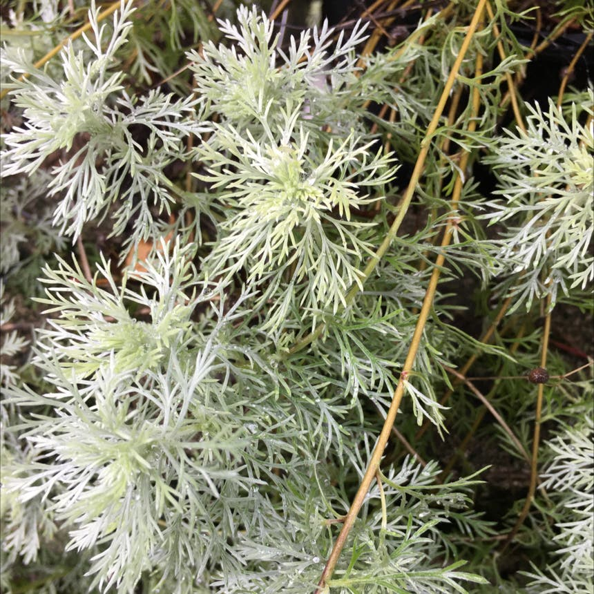 Field wormwood plant in Pike, New York