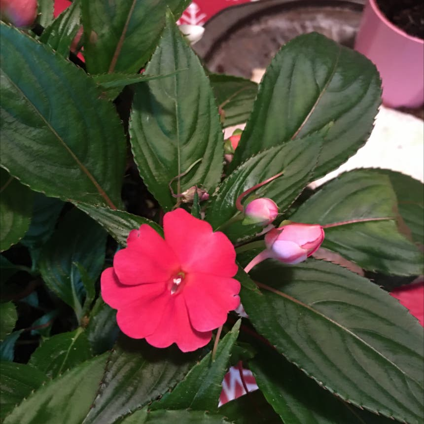New guinea impatiens plant in Pike, New York