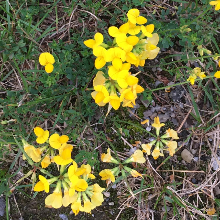 Common bird's-foot-trefoil plant in Pike, New York