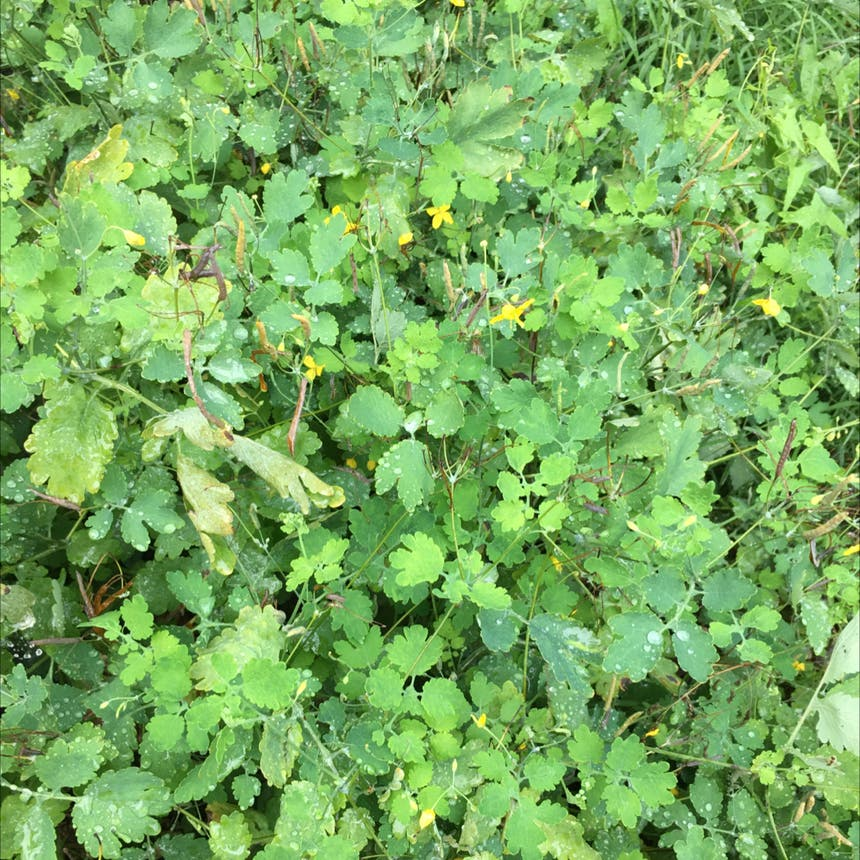 Greater celandine plant in Pike, New York