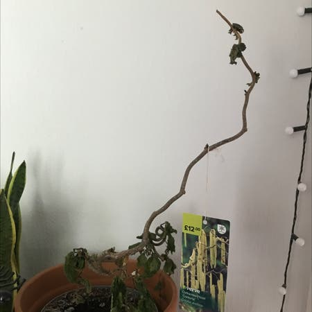 Photo of the plant species Corkscrew Hazel by Megegg17 named tree on Greg, the plant care app