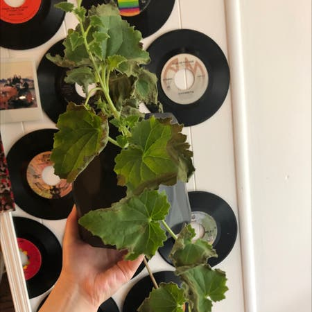 Photo of the plant species Creeping Gloxinia by Kylie named Forrest on Greg, the plant care app