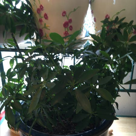 Photo of the plant species False cleyera by Noreen named Your plant on Greg, the plant care app