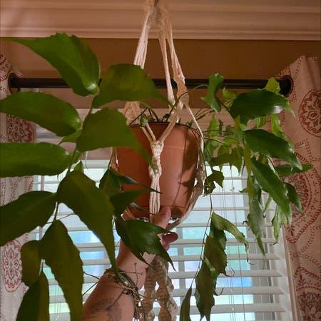 Photo of the plant species Christmas Fern by Gibbya named Fernie Mercury on Greg, the plant care app