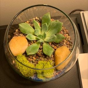 Little Jewel plant photo by Sam_salinas named Gobi on Greg, the plant care app.