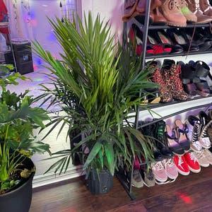 Majesty Palm plant photo by Hannahbanana921 named Majesty palm on Greg, the plant care app.