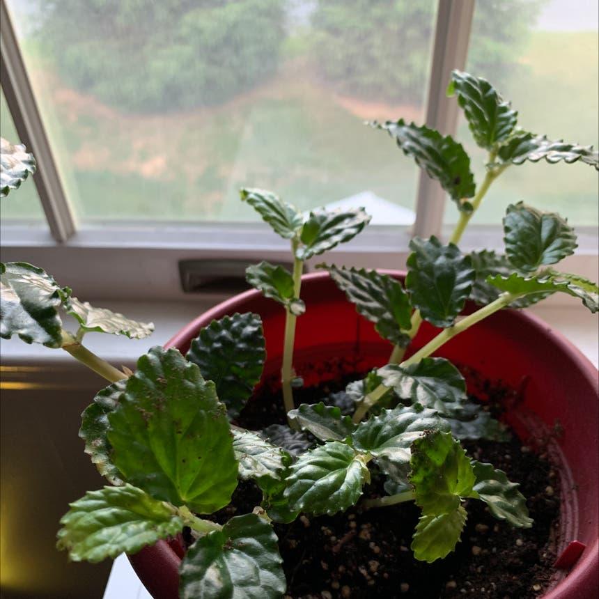 Watermelon Pellionia plant