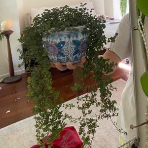 Pilea 'Aquamarine' plant photo by Bella named Gaga on Greg, the plant care app.