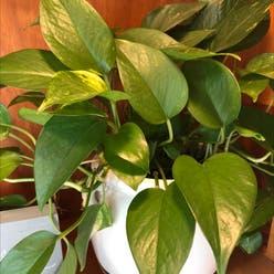 Pothos 'Jade' plant