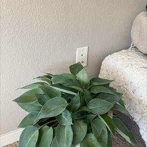 Hosta undulata plant photo by Meshahow named Oscar on Greg, the plant care app.