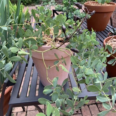 Photo of the plant species Blue wild indigo by Andrewbunt named Your plant on Greg, the plant care app