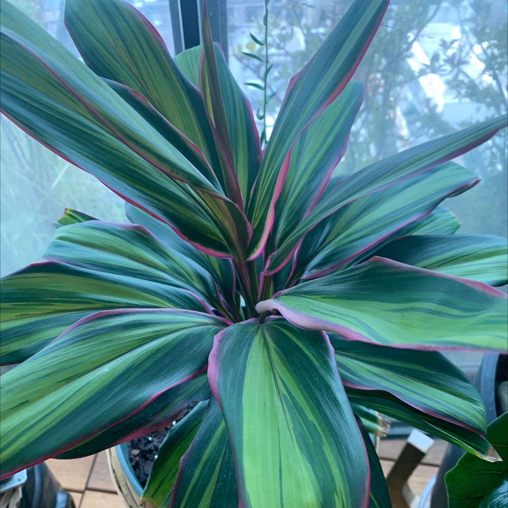 Photo of the plant species Broad Leaved Palm Lily by Jmb named Cordy on Greg, the plant care app