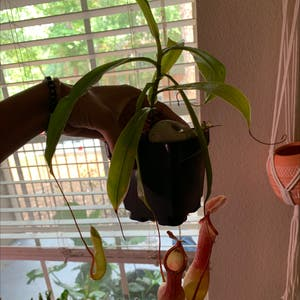 Tropical Pitcher Plant plant photo by Plant parent named Your plant on Greg, the plant care app.