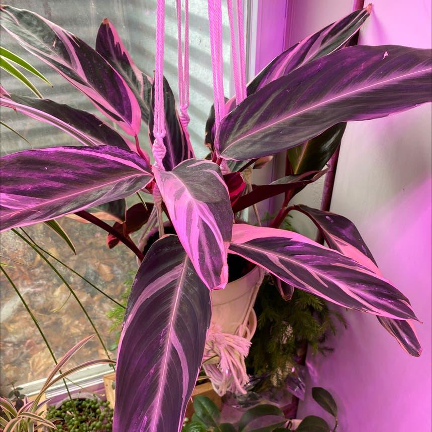 Triostar Stromanthe plant