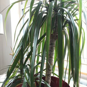 Rating of the plant Dragon tree named Terra by Emmciv on Greg, the plant care app