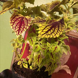 Rating of the plant Coleus named Joy by Beeplantastic on Greg, the plant care app