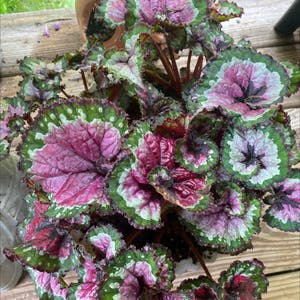 Rex Begonia plant photo by Essdubya named Castor on Greg, the plant care app.