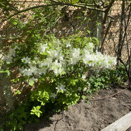 Photo of the plant species western azalea by Eliza named Whitey on Greg, the plant care app