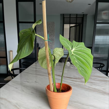 Photo of the plant species Philodendron 'Glorious' by Jaymohd named Bella on Greg, the plant care app