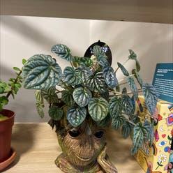 Emerald Ripple Peperomia plant