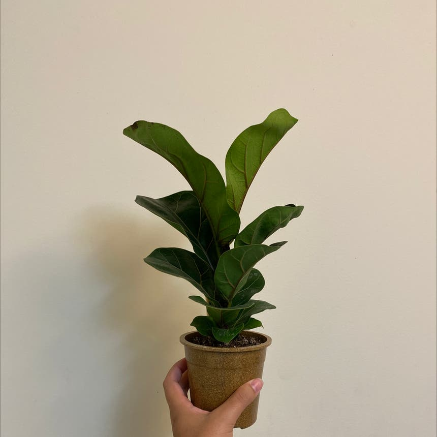 Fiddle Leaf Fig plant in Somewhere on Earth
