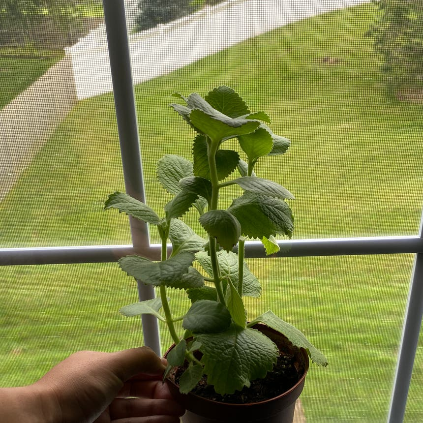 Mexican Mint plant in Somewhere on Earth