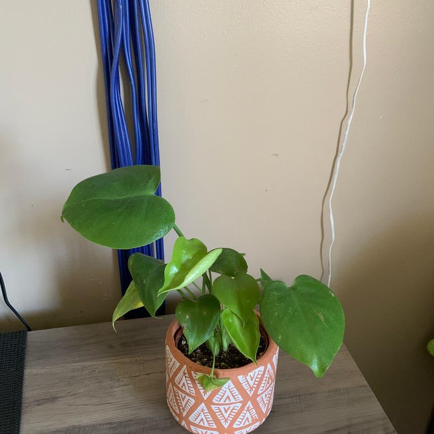 Dwarf Monstera Deliciosa plant in Somewhere on Earth