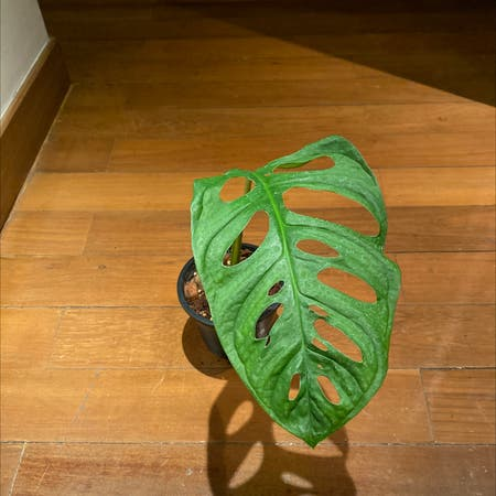 Photo of the plant species Monstera esqueleto by Kevinsomany named Miklos Horty on Greg, the plant care app