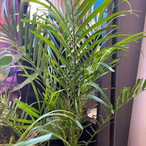 Pygmy Date Palm plant photo by Bmur4471 named Poseidon on Greg, the plant care app.