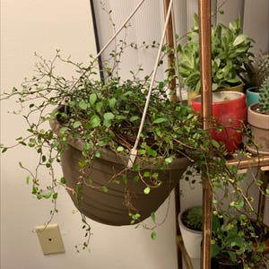 Sprawling wirevine plant photo by Samiam060 named Jellyfish Plant on Greg, the plant care app.