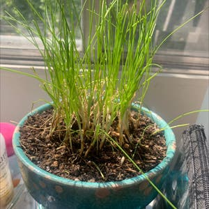 Wild chives plant photo by Rachel named Chively Cyrus on Greg, the plant care app.