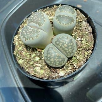 Lithops bromfieldii plant in Laredo, Texas