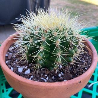 Golden Barrel Cactus plant in Laredo, Texas
