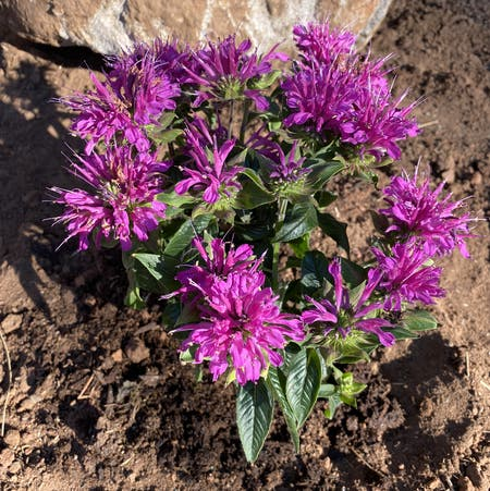 Photo of the plant species Monarda Didyma by Mrskmpowell named Messi on Greg, the plant care app