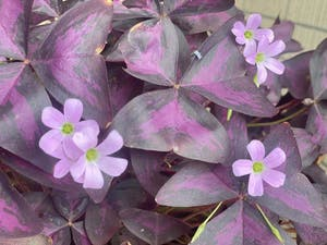 Purple Shamrocks plant photo by Doudou named Red on Greg, the plant care app.