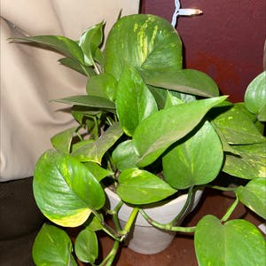 Hawaiian Pothos plant photo by Puffscangrow named Goldie on Greg, the plant care app.