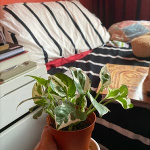 Pothos N'Joy plant photo by Komal named Moomoo on Greg, the plant care app.