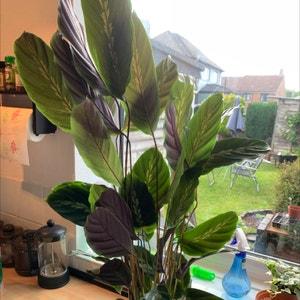 Jungle Velvet plant photo by Billie named ruffles on Greg, the plant care app.