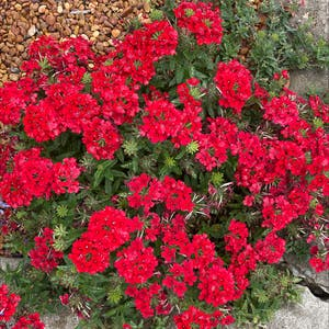 Sweet william plant photo by Sadi named Your plant on Greg, the plant care app.