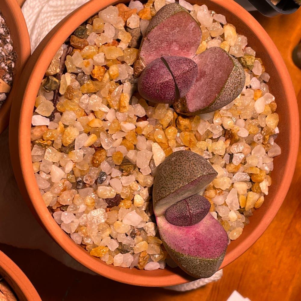 Photo of the plant species Royal Flush Split Rock by Jerry named Pleiospilos nelii Royal Flush on Greg, the plant care app