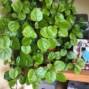 Swedish Ivy plant photo by Lvl500 named Treeyoncé on Greg, the plant care app.