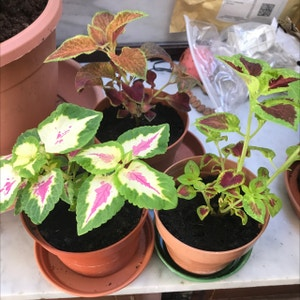 Rating of the plant Coleus named Three Amigos by Lvl500 on Greg, the plant care app