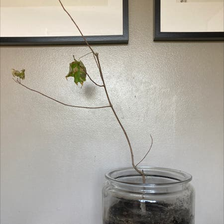 Photo of the plant species Sugar maple by Mik3ec named Mabel on Greg, the plant care app