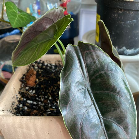 Photo of the plant species Red Mambo by Zhixin named Alocasia azlanii on Greg, the plant care app