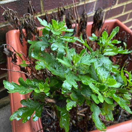 Photo of the plant species Mugwort by Waldenselena named Orlando Bloom on Greg, the plant care app