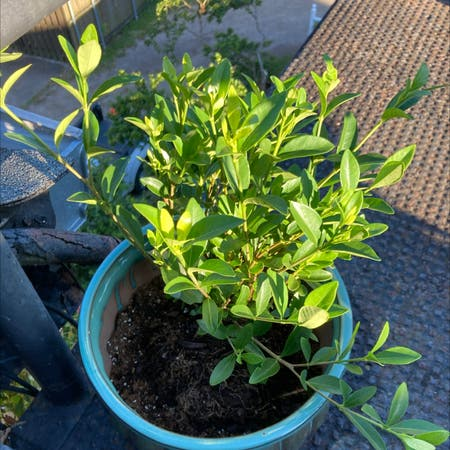 Photo of the plant species Gardenia Magnifica by Madison named Evangeline on Greg, the plant care app