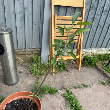 Photo of the plant species Golden Delicious Apple by Katie named Apple on Greg, the plant care app