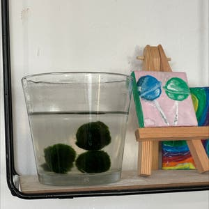 Marimo plant photo by Emma named mario moss ball on Greg, the plant care app.