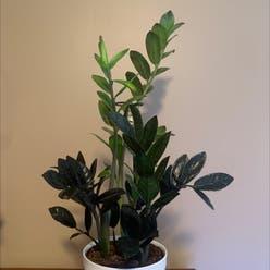 Raven ZZ Plant plant